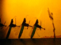 Grasshoppers fiddle while faeries dance