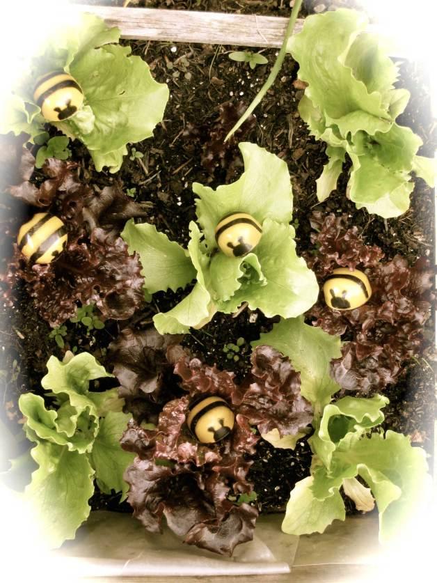 Bees-in-lettuce