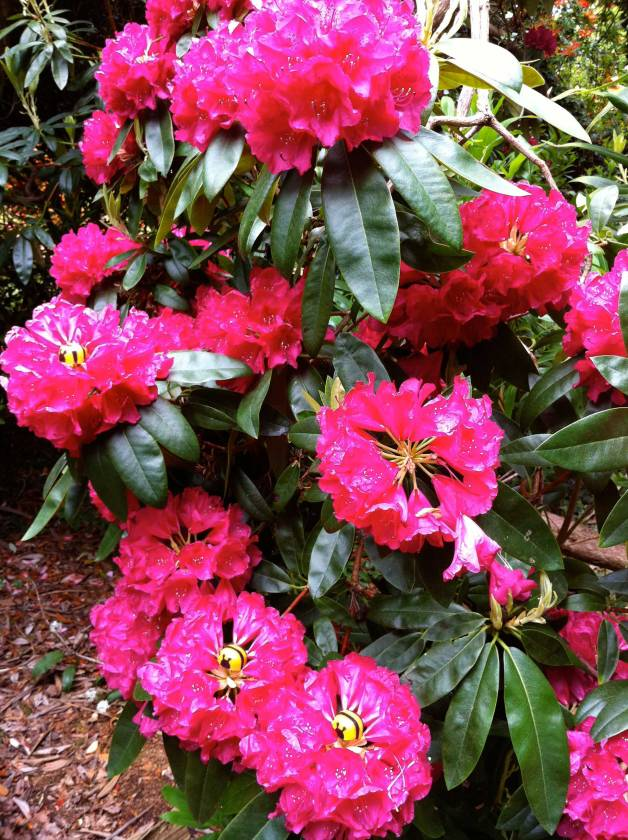 Bees-in-pink-rhodies