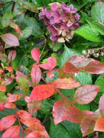 The ashes-of-roses and mauves in that hydrangea always make me think of death...