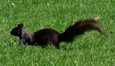 the squirrels are BLACK!!